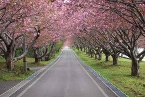 函館の桜並木です