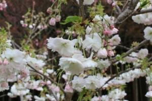 「松月」という名前の桜の花